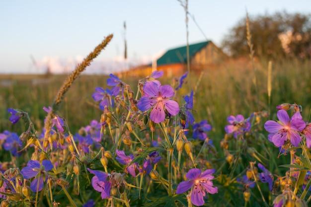 Fleurs pourpres de géranium des prés sur fond de paysage rural floue soirée.