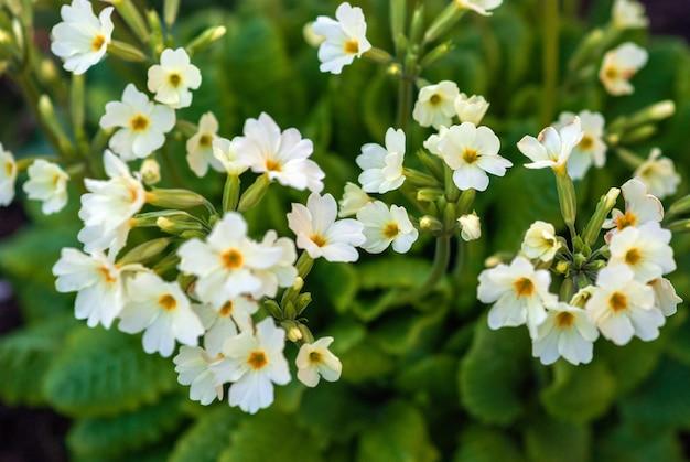Fleurs de primevère anglaise dans le jardin