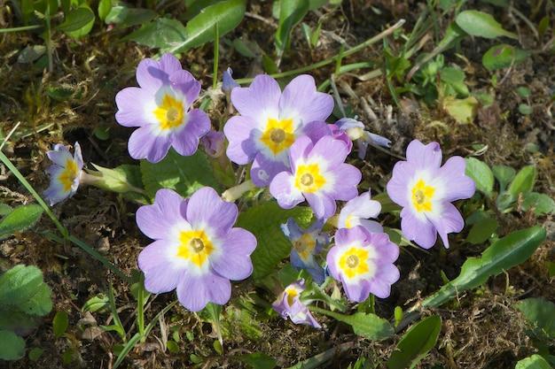 Les fleurs de primevère ou primula vulgaris ont fleuri au printemps
