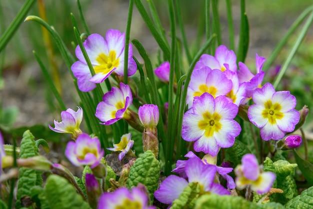 Fleurs de primevère de printemps mise au point sélective