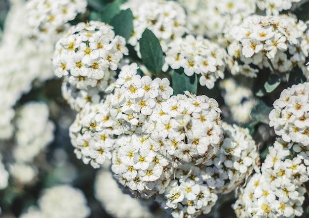 Fleurs printanières blanches sur l'arbre