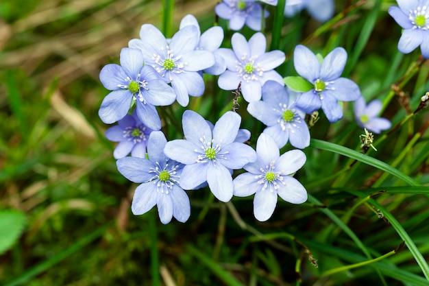 Fleurs printanières bleues, photographiées de près. printemps