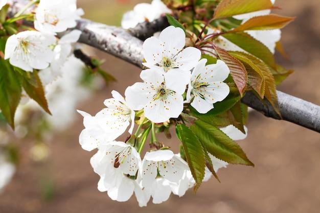Fleurs de printemps blanc sur arbre fruitier en verger, gros plan de fleur de cerisier