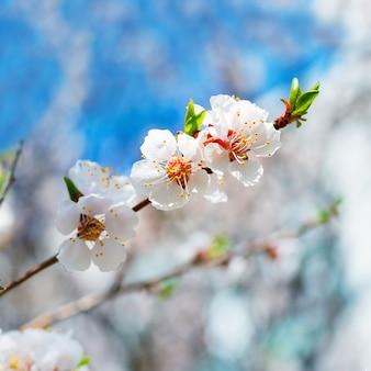 Fleurs de printemps blanches en fleurs sur un prunier sur fond floral doux