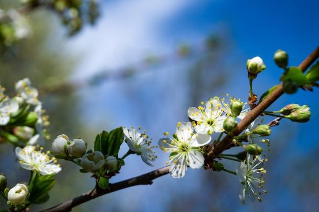 Fleurs de printemps. branche d'arbre magnifiquement fleurie.