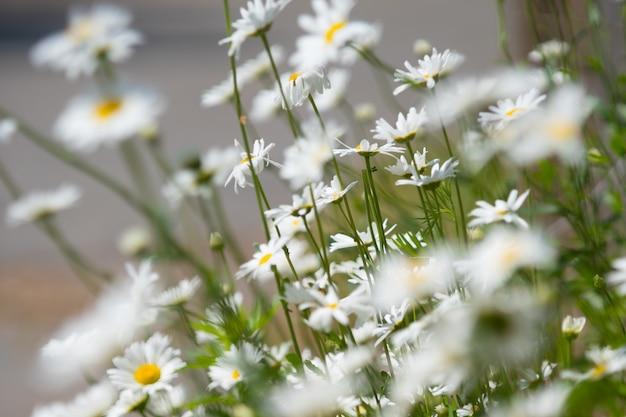 Fleurs de printemps camomille floue