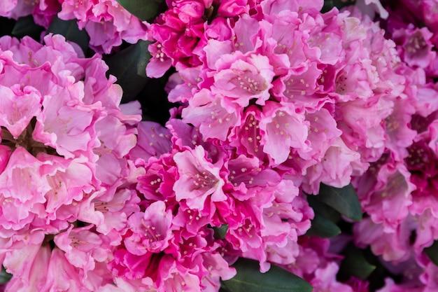 Fleurs de printemps de l'espèce rhododendron. belles fleurs dans le gros plan de parterre de fleurs.