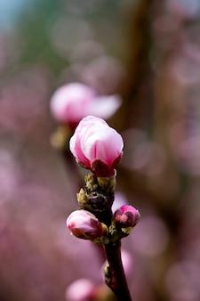 Fleurs de printemps, fleurs de pêches roses.