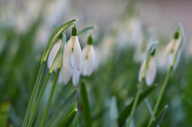 Fleurs de printemps - gouttes de neige. magnifiquement fleurissant dans l'herbe au coucher du soleil. amaryllidaceae - galanthus nivalis