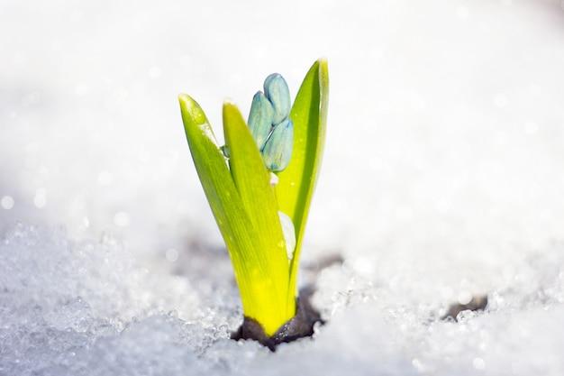 Fleurs de printemps de perce-neige avec des gouttes d'eau