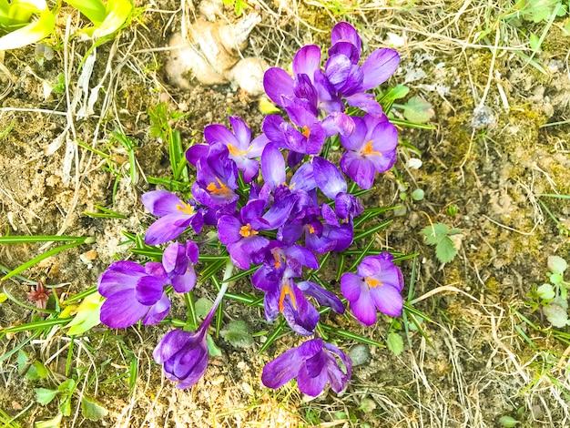Fleurs de printemps pourpre sur la vieille herbe sèche, sol.
