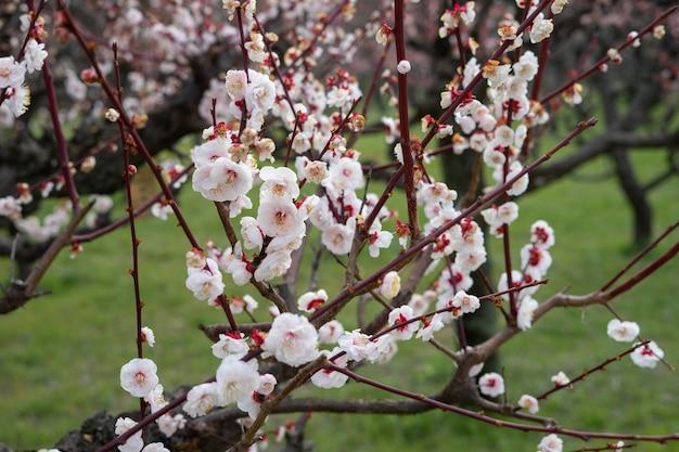 Des fleurs de prunier assez roses s'épanouissent sur un prunier