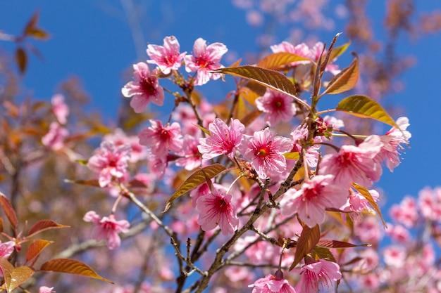 Fleurs de prunier brillant dans le ciel bleu