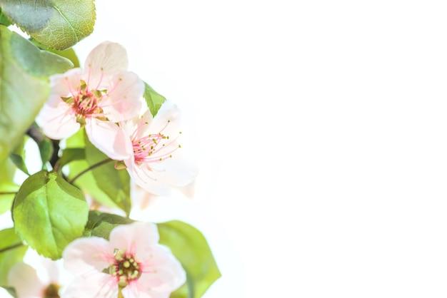 Fleurs de prunier rose avec des feuilles vertes isolés sur fond blanc
