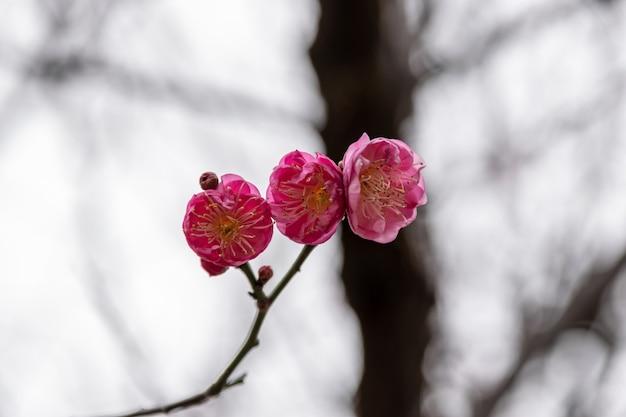 Les fleurs de prunier rouge sont en pleine floraison. gros plan des fleurs de prunier