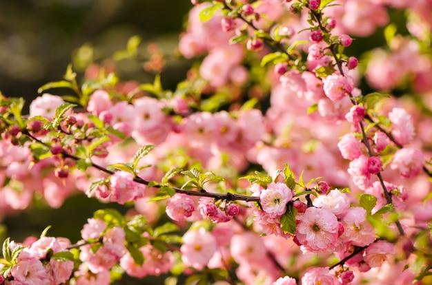 Fleurs de prunus triloba.