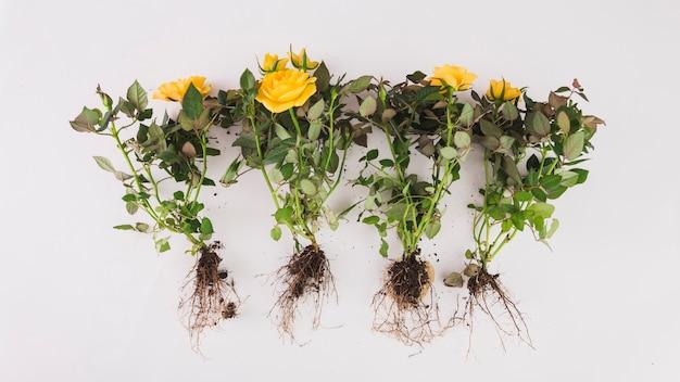 Fleurs avec des racines sur blanc