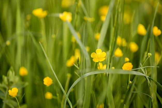 Les fleurs de renoncule jaune fleurissent dans l'herbe en surface naturelle de prairie d'été
