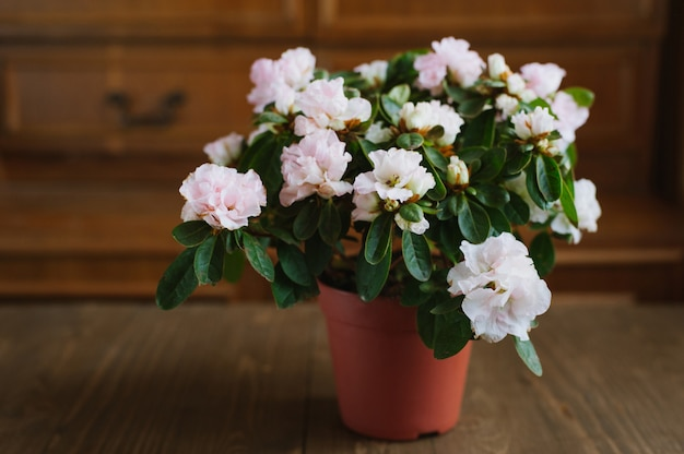 Fleurs de rhododendron en pot