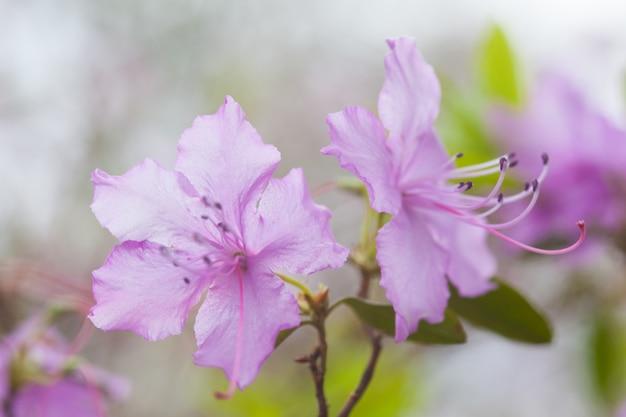 Fleurs de rhododendron pourpre avec fond vert, dans le parc. fleurs de printemps, fond de printemps.