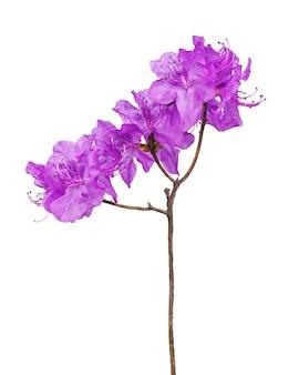 Fleurs de rhododendron violet (thé du labrador) sur branche isolée.
