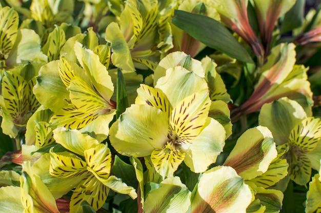Fleurs de rhododendrons sur fond jaune