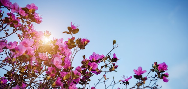 Fleurs de rhododendrons roses au soleil contre le ciel bleu, gros plan. jour de printemps dans le jardin fleuri. buissons de maralnik dans les montagnes de l'altaï. fond naturel, espace pour le texte.