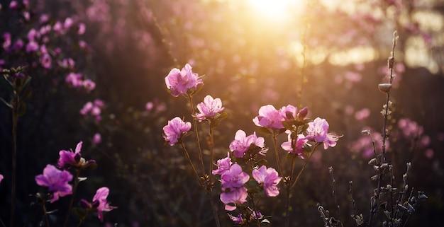 Fleurs de rhododendrons roses délicates au soleil, arrière-plan flou, gros plan. coucher de soleil ou lever de soleil dans un jardin fleuri. buissons de maralnik dans les montagnes de l'altaï au début du printemps.