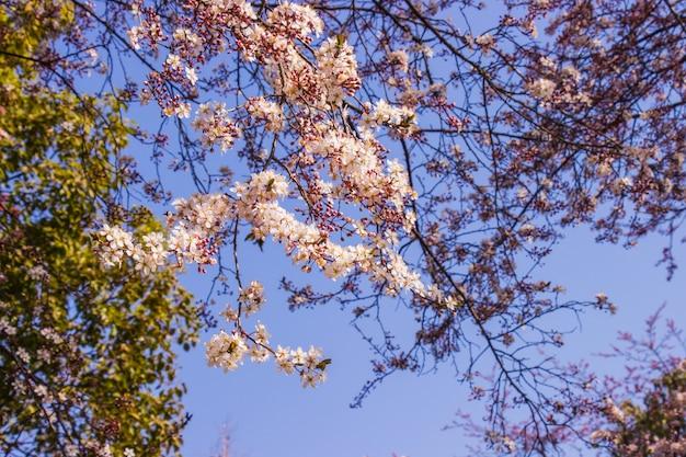 Fleurs rose prune et fond bleu ciel lumineux devant le parc osaka-jo. sélectionnez le focus.