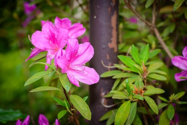 Fleurs roses d'azalée