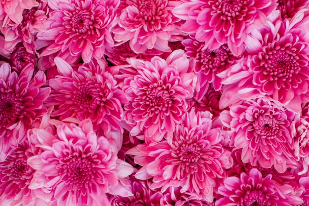 Fleurs roses avec de beaux pétales, chrysanthème (dendranthemum grandifflora) dans le jardin