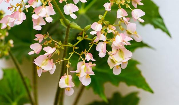 Fleurs roses de bégonias sur les feuilles vertes. cultiver des plantes d'intérieur