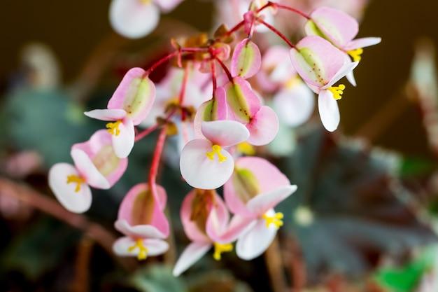 Fleurs roses de bégonias à l'intérieur du magasin de fleurs