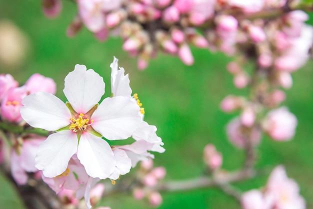 Fleurs roses, branche d'amandier en fleurs au printemps, fond d'herbe verte