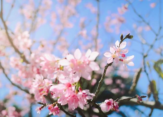 Fleurs roses sur la branche avec un ciel bleu pendant la floraison printanière
