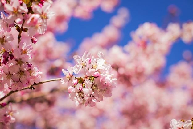 Fleurs roses sur la branche avec un ciel bleu pendant la floraison printanière.