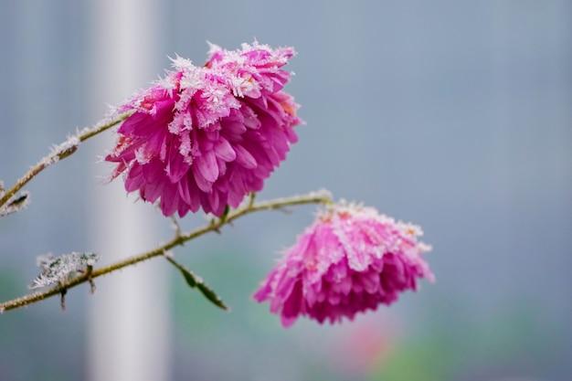 Fleurs roses couvertes de givre sur un arrière-plan flou