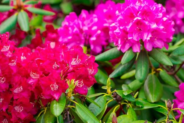 Fleurs roses dans le jardin. fond d'été.