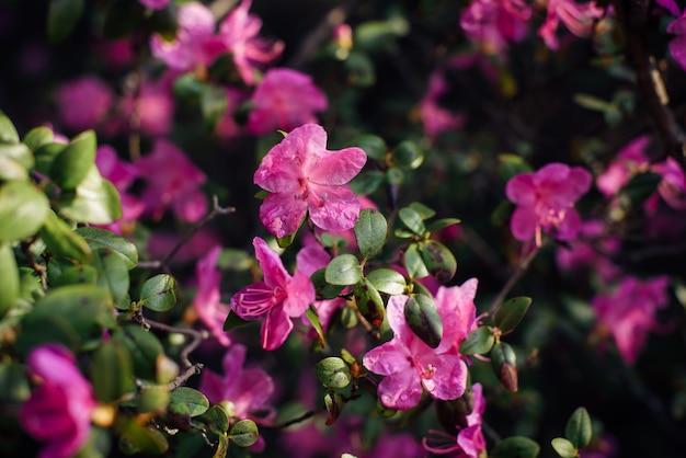 Fleurs roses délicates de l'altaï maralnik, gros plan, arrière-plan flou. arbuste à fleurs, cerisier, amandier. fond de plantes, carte postale, espace pour le texte.