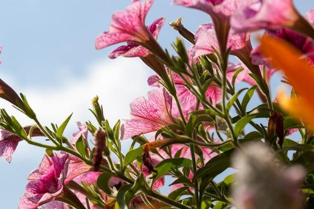 Fleurs roses en été, plantes fleuries décoratives dans le jardin