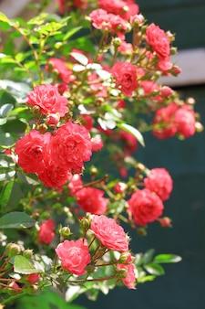 Fleurs de roses grimpantes