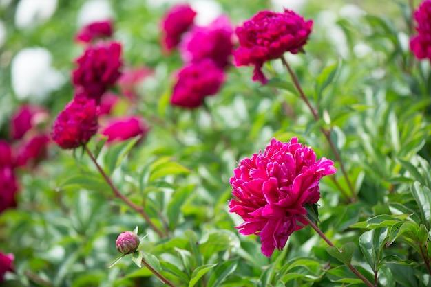 Fleurs roses pivoines floraison sur fond de pivoines roses. jardin de pivoines.