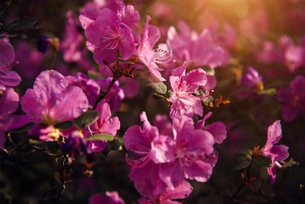 Fleurs roses printanières délicates au soleil, flou artistique, gros plan. fleurs de cerisier, amandes, rhododendron. fond floral.