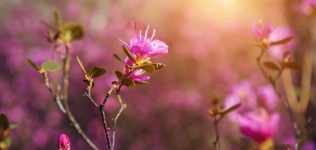 Fleurs roses de printemps magiques au soleil, flou artistique, gros plan. fleur de cerisier, amande, rhododendron. fond floral, bannière.