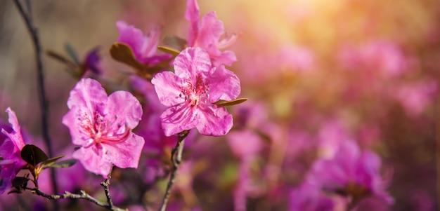 Fleurs roses de printemps magiques au soleil, flou artistique, gros plan.