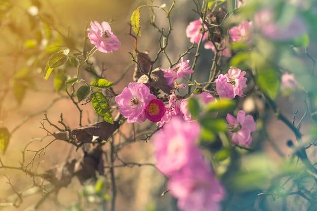 Fleurs roses roses sur le rosier dans le jardin en été