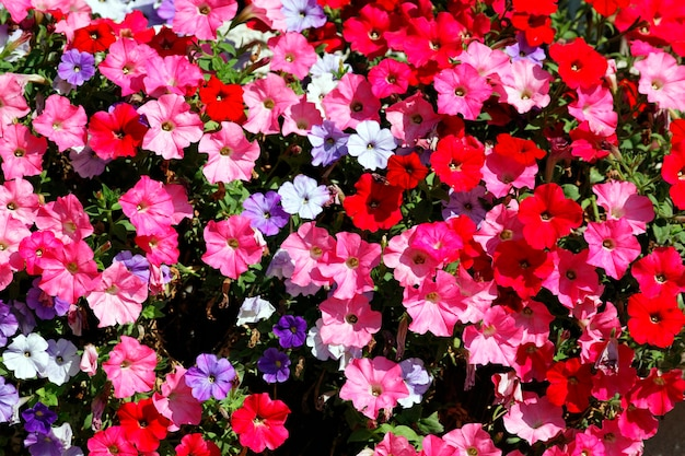 Fleurs roses, rouges, blanches et violettes dans le jardin