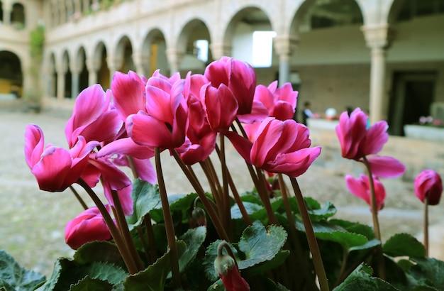 Fleurs roses vives dans la cour du couvent de santo domingo à qoricancha, cusco, pérou