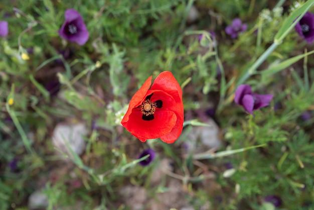 Fleurs rouge vif sur de fines tiges de coquelicots dans le domaine