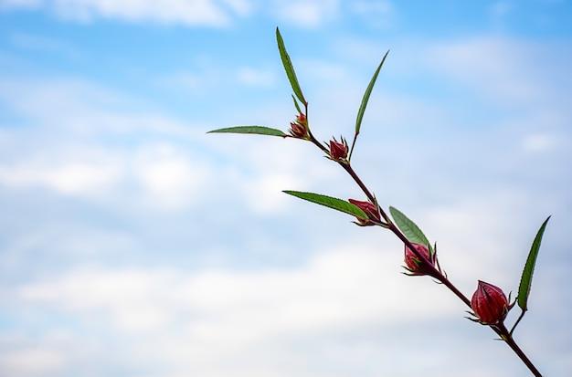 Fleurs rouges ou hibiscus sabdariffa fond ciel brouillé